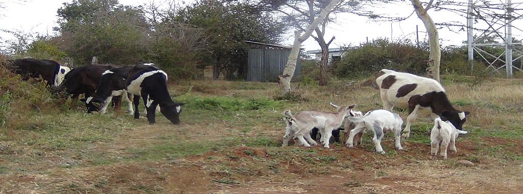 Part of the livestock herd at Katumani