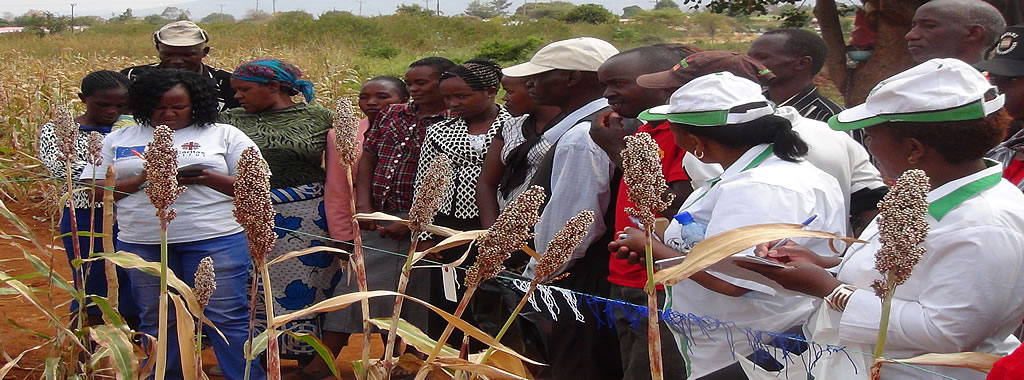 A sorghum farmers' participatory variety selection
