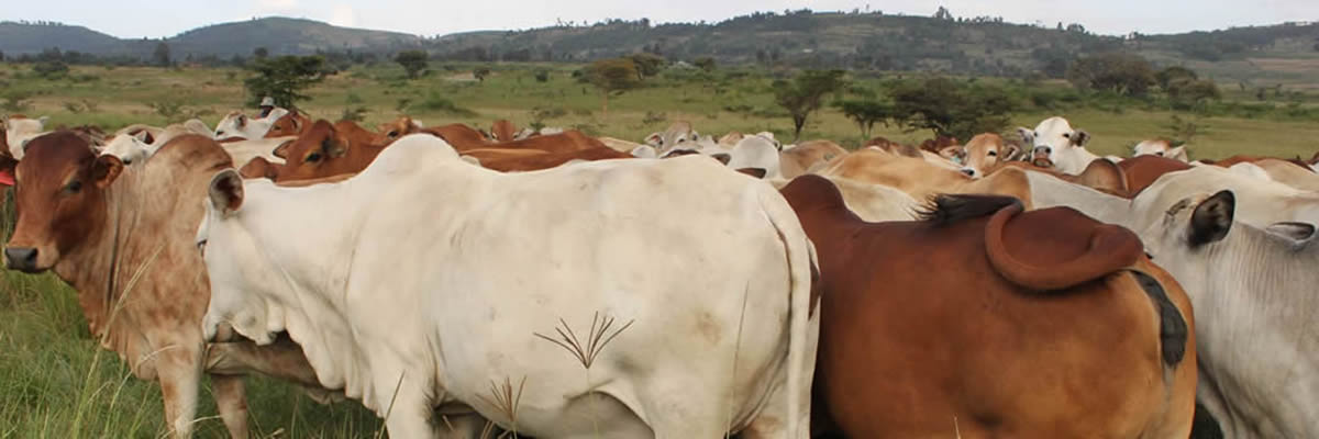 Improved Boran Cattle