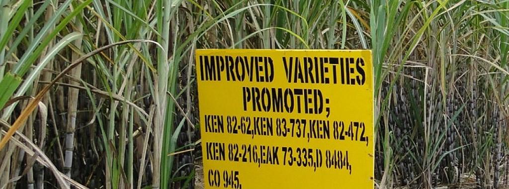 Improved Sugar Variesties